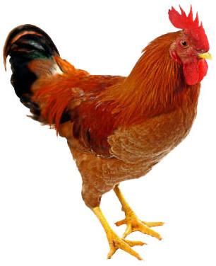 Cock-murga