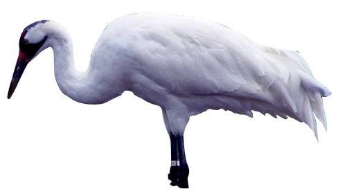 Crane -saaras