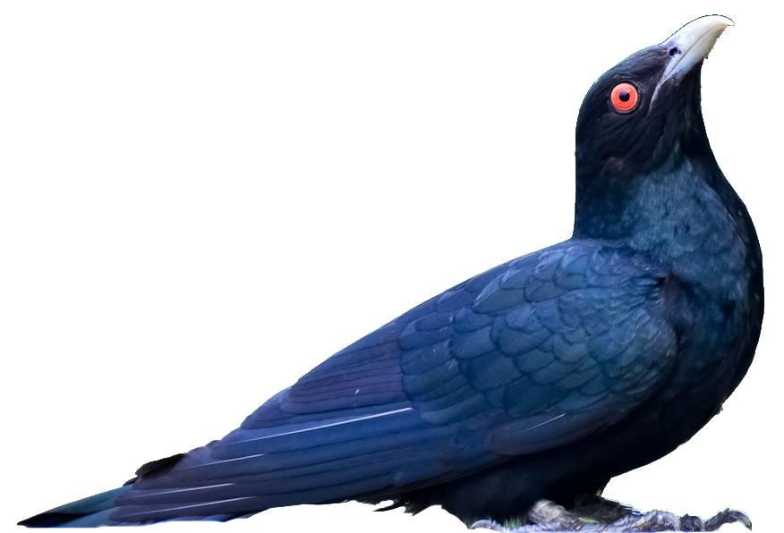 Cuckoo- koyal