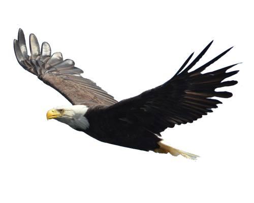 Eagle-Cheel