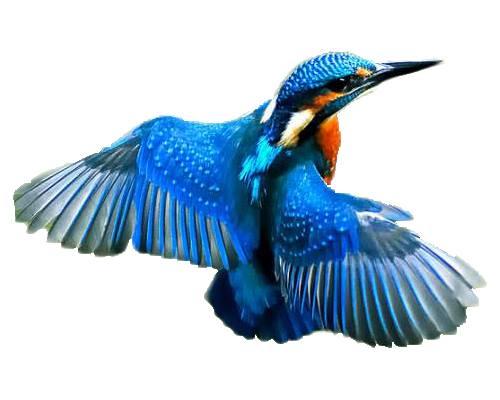 Kingfisher-Ram Chiraiya