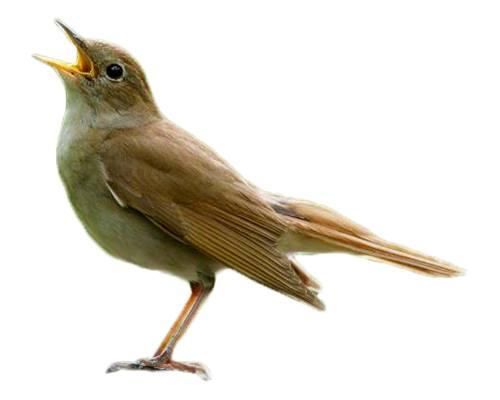 Nightingale-Bulbul