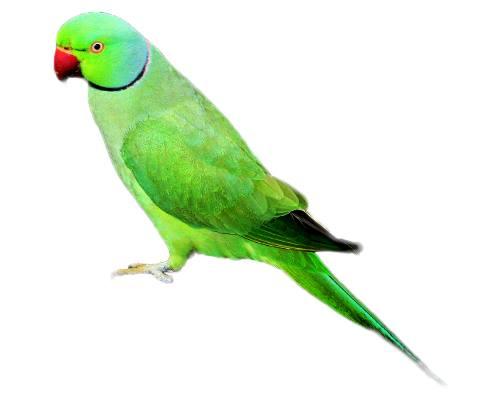 Parrot-Tota