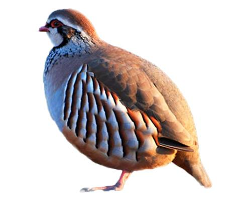 Partridge-Teetar