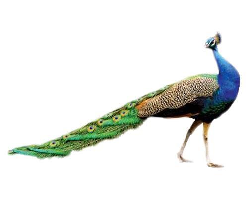 Peacock-Mor
