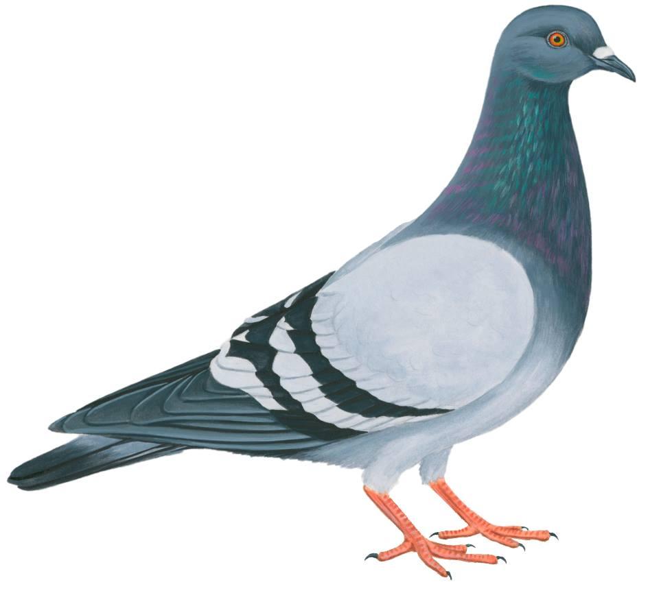 Pigeons- kabootar