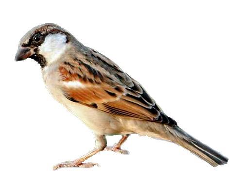 Sparrow- Gauraiya Chidiya