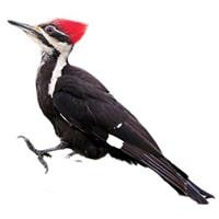 Woodpecker-Kathaphodava