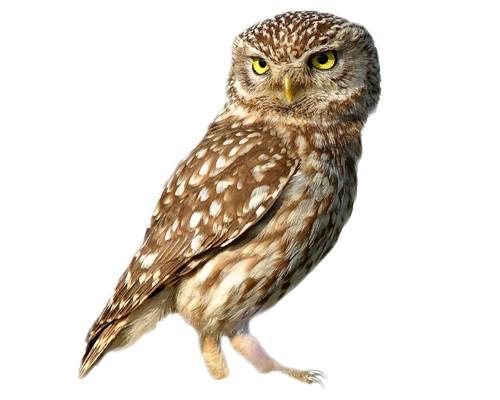 owl-Ullu
