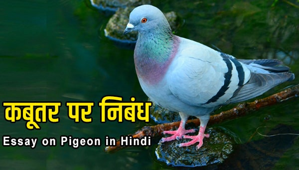 essay on pigeon in hindi